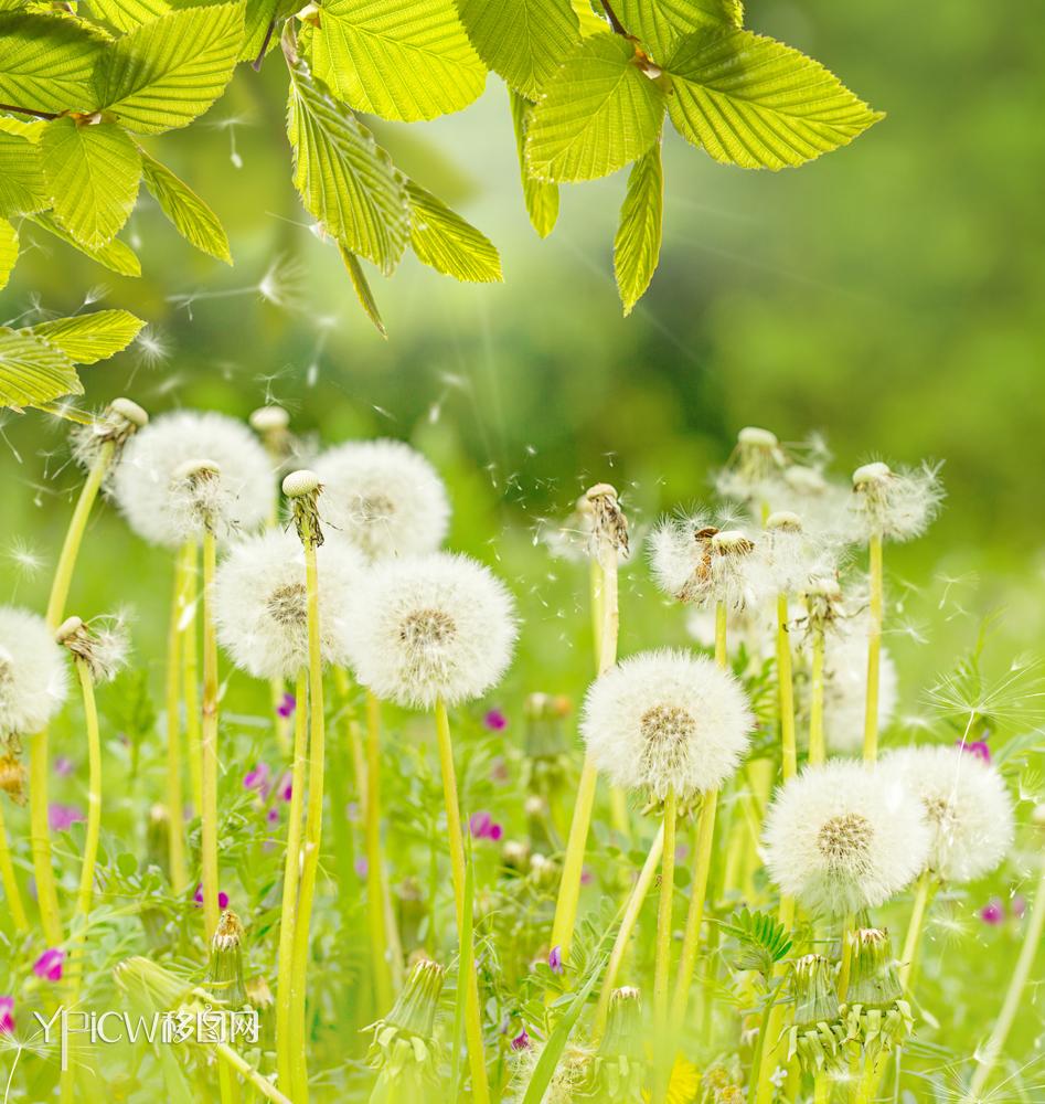 首页 图片素材 植物树木 花草盆栽 > 蒲公英花瓣植物花朵自然美景漂亮